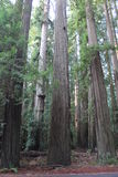 California Redwood Forest Royalty Free Stock Images