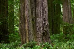 California Redwood Forest Royalty Free Stock Photo