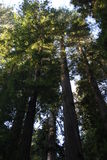 California Redwood Forest at Sunrise Royalty Free Stock Photography