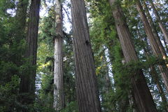California Redwood Forest at Sunrise Stock Photo