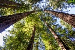 California redwood Sequoia sempervirens