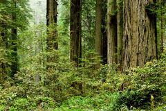 California redwoods Royalty Free Stock Photo