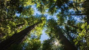 California Redwoods stock footage