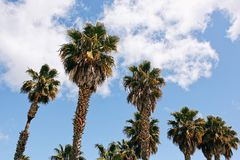 California`s Palm Trees with a blue sky Stock Images