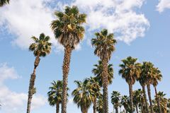 California`s Palm Trees with a blue sky Stock Photo