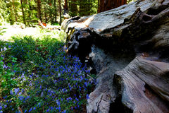 California`s Sequoia National Park. Is home to some of the largest and oldest trees on the planet. Even after they`ve fallen, the trees provide homes and Royalty Free Stock Images