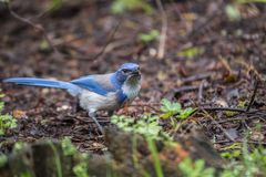 California scrub jay Aphelocoma californica Stock Image