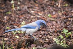 California scrub jay Aphelocoma californica Stock Photo