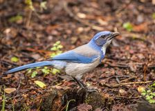 California scrub jay Aphelocoma californica Royalty Free Stock Image
