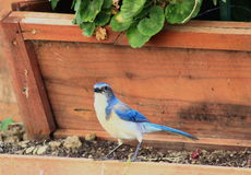 California Scrub Jay in a backyard Stock Images