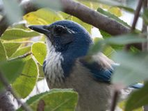 California scrub jay peeking through oaks royalty free stock image