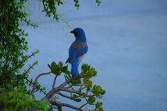 California scrub-jay perched near the seashore stock image