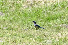 A California Scrub Jay Stock Photos