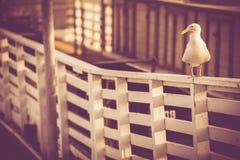 California Sea Gull Stock Photography