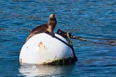 Free California Sea Lion Royalty Free Stock Photo - 102579595