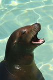 California Sea Lion. Sea Lion waiting to be fed at Sea World San Diego Royalty Free Stock Photos
