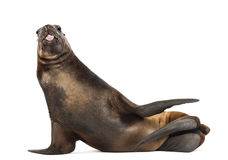 California Sea Lion, 17 years old, lying and sticking out its tongue. Against white background stock image