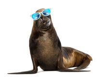 California Sea Lion, 17 years old, wearing sunglasses. Against white background royalty free stock photos