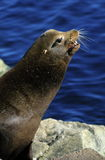 California Sea Lion. Profile of a California Sea Lion with blue water background Stock Photo