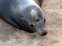 California Sea lion. Wild California sealion Royalty Free Stock Photo