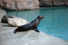 California Sea Lion. In zoo of Opole, Poland stock photography