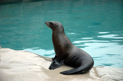 California Sea Lion. In zoo of Opole, Poland Stock Images