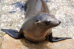 California sea lion Stock Image