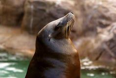 California Sea Lion. A California Sea Lion basking in the sun Royalty Free Stock Photo