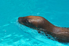 California sea lion Royalty Free Stock Photos