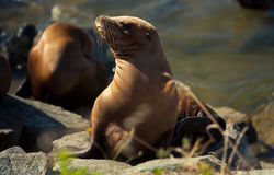 California sea lion in afternoon sun Stock Photo
