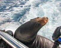 California Sea Lion arching his neck away while on the back of charter fishing boat in Cabo San Lucas Baja Mexico Stock Photo