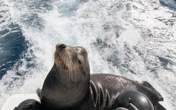 California Sea Lion on the back of charter fishing boat in Cabo San Lucas Baja Mexico Royalty Free Stock Images