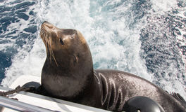 California Sea Lion on the back of charter fishing boat in Cabo San Lucas Mexico Royalty Free Stock Photo