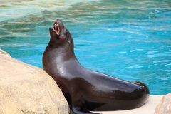 A California Sea Lion barking for fish in a marine park royalty free stock photography
