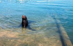 California Sea Lion `barking` in marina in Cabo San Lucas Baja Mexico Royalty Free Stock Photography