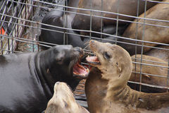 California sea lion barking Royalty Free Stock Photography