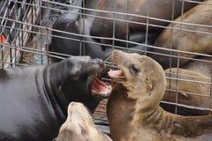 California sea lion barking Royalty Free Stock Photography