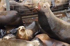 California sea lion barking Stock Images