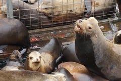 California sea lion barking Stock Photography