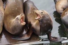 California sea lion barking Royalty Free Stock Images