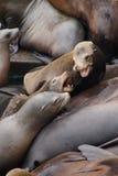 California sea lion barking Stock Photo