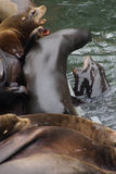 California sea lion barking to claim territory Stock Images