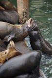California sea lion barking to claim territory Stock Photo