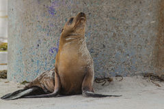 California Sea Lion on Beach with Concrete Base of Lifeguard Stand as Background royalty free stock images