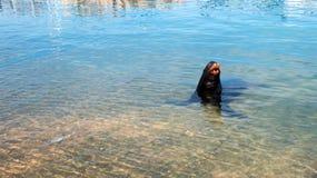 California Sea Lion bellowing loudly in marina in Cabo San Lucas Baja Mexico Royalty Free Stock Photos