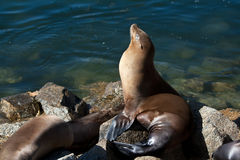 California sea lion in blue harbor Stock Photo