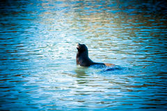 California sea lion in blue water royalty free stock images