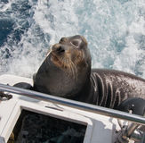 California Sea Lion on boat in Cabo San Lucas harbor in Baja Mexico Royalty Free Stock Images