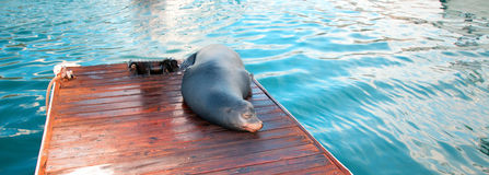 California Sea Lion on boat dock in Cabo San Lucas Baja Mexico Stock Photography