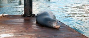 California Sea Lion on boat dock in Cabo San Lucas marina in Cabo San Lucas Baja Mexico Stock Photos